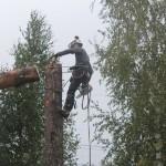 Валка деревьев по частям